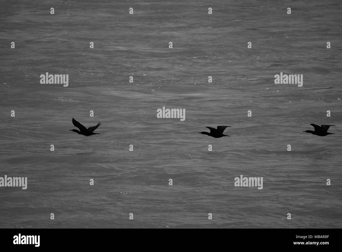 BW of three cormorants flying low over water - Stock Image
