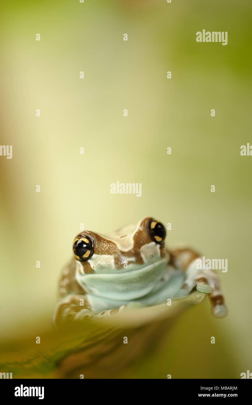 Mission golden-eyed tree frog walking on leaf - Stock Image