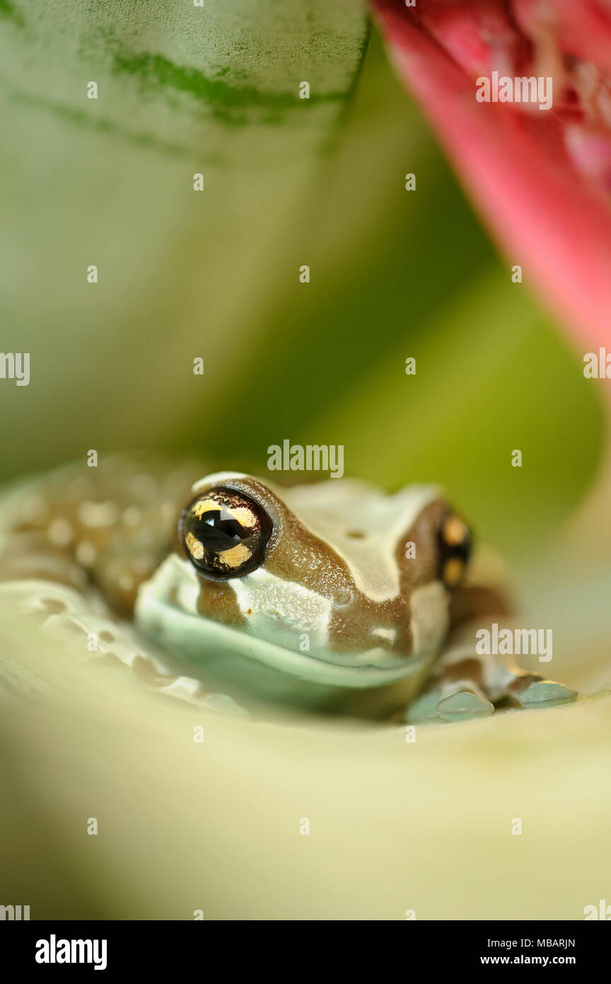 Amazon milk frog from front on flower leaf - Stock Image