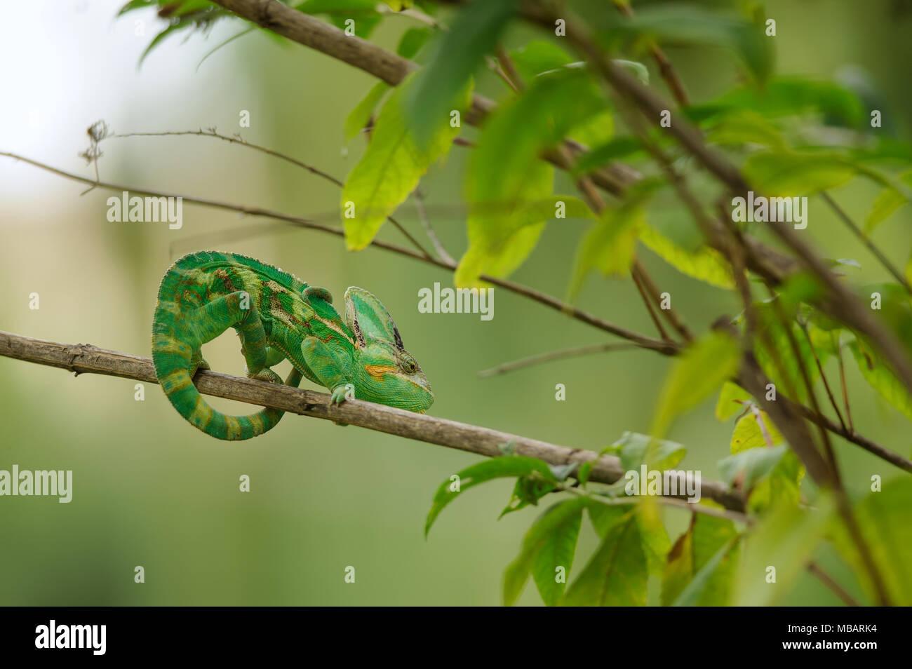 Veiled chameleon on branch - Stock Image
