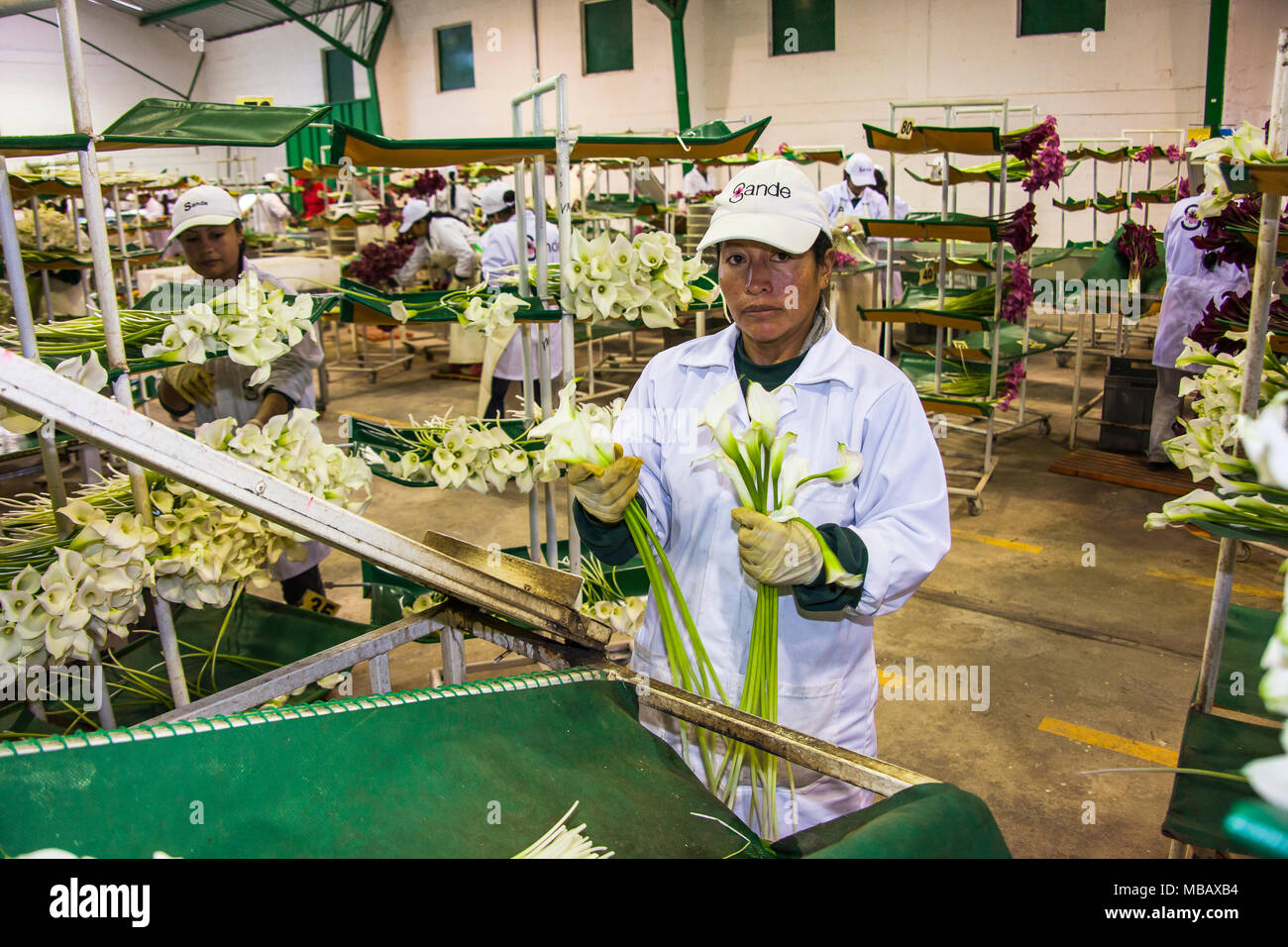 Packing flowers stock photos packing flowers stock images alamy guayllabamba ecuador 15 may 2016 women unidentified in an industrial plant sorting izmirmasajfo Image collections