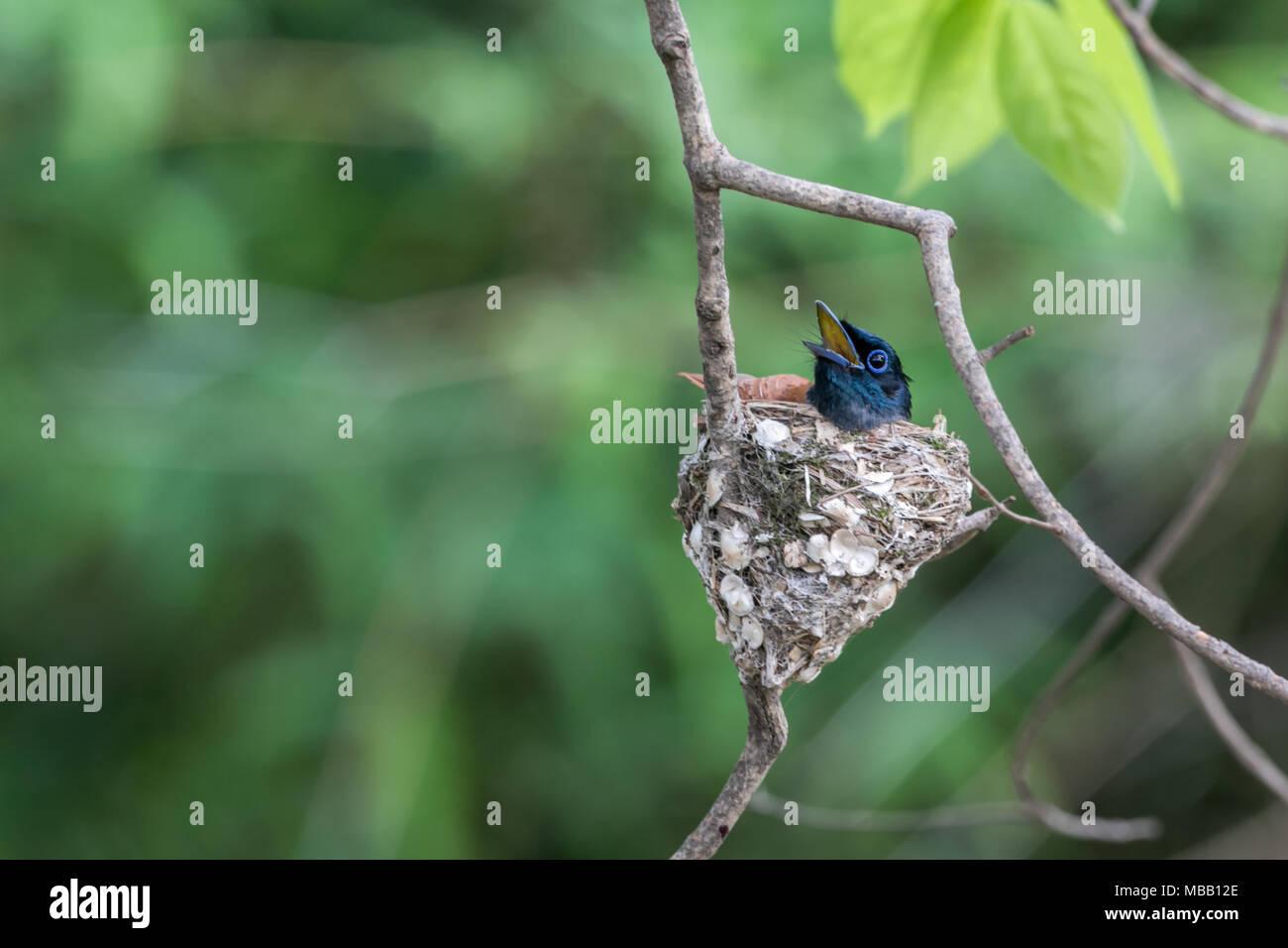 The Indian paradise flycatcher (Terpsiphone paradisi) inside Tadoba Andhari Tiger Reserve in Maharashtra, India Stock Photo