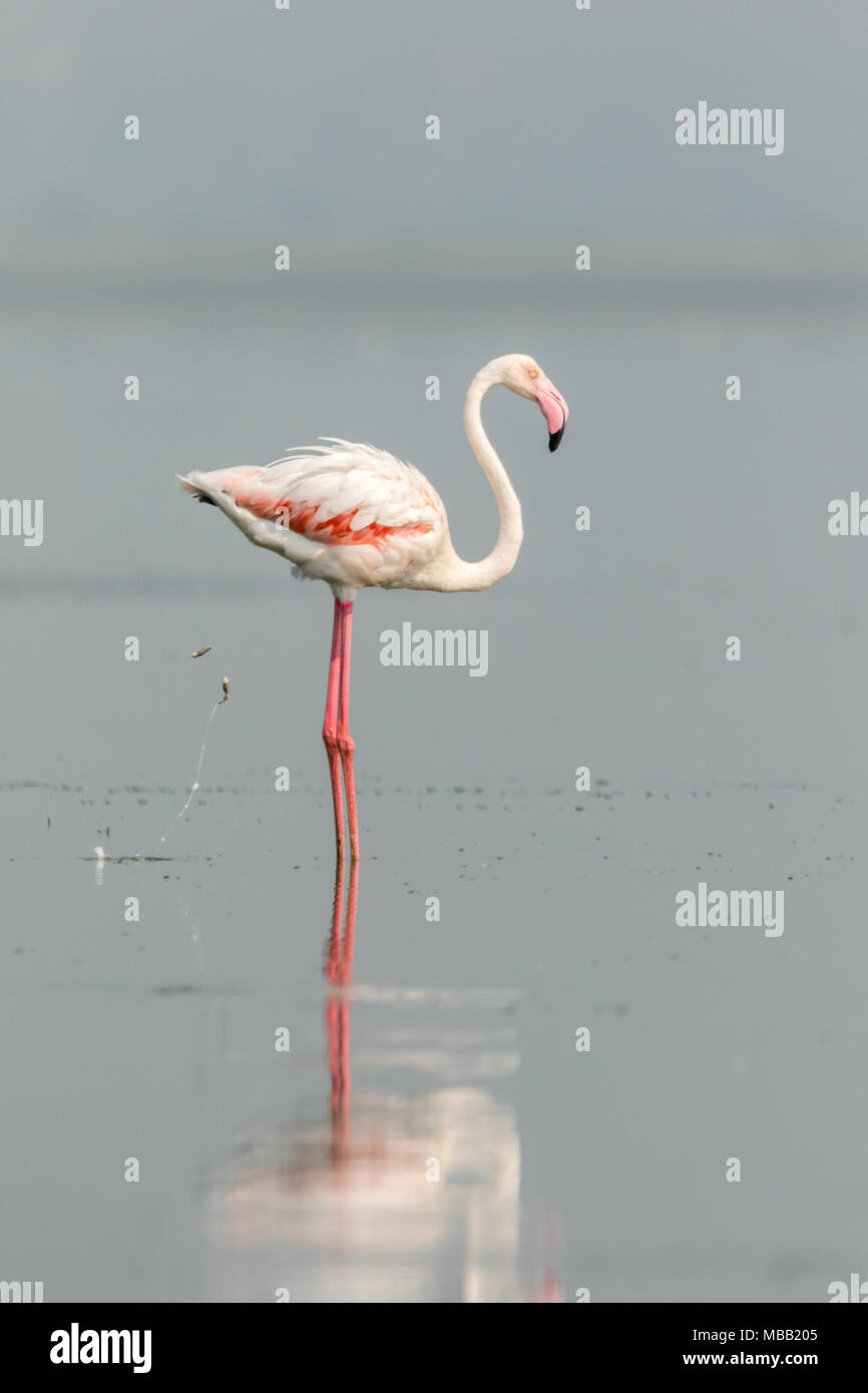 The greater flamingo (Phoenicopterus roseus) found around Pune at Bhigwan Bird Sanctuary, Maharashtra, India. Stock Photo