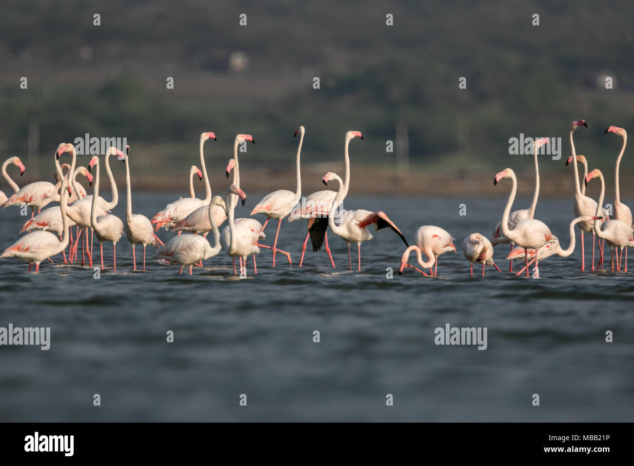 The greater flamingo (Phoenicopterus roseus) found around Pune at Bhigwan Bird Sanctuary, Maharashtra, India. - Stock Image