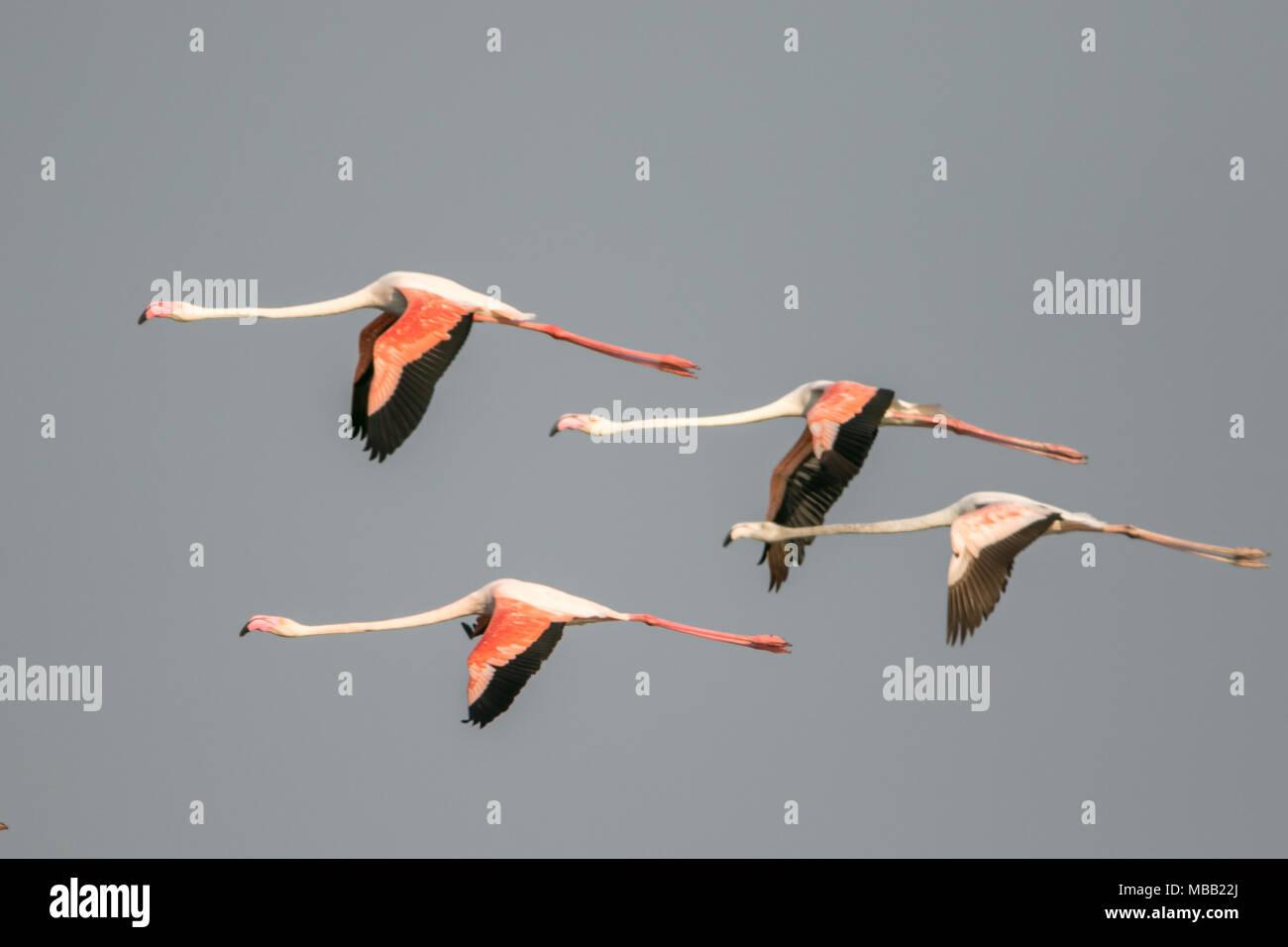 The greater flamingo (Phoenicopterus roseus) found around Pune at Bhigwan Bird Sanctuary, Maharashtra, India. Stock Photo