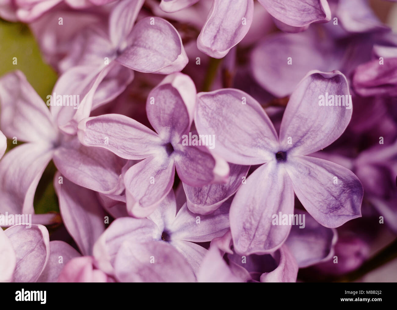 Close Up Photo Of Beautiful Lilac Flowers Purple Spring Flowers