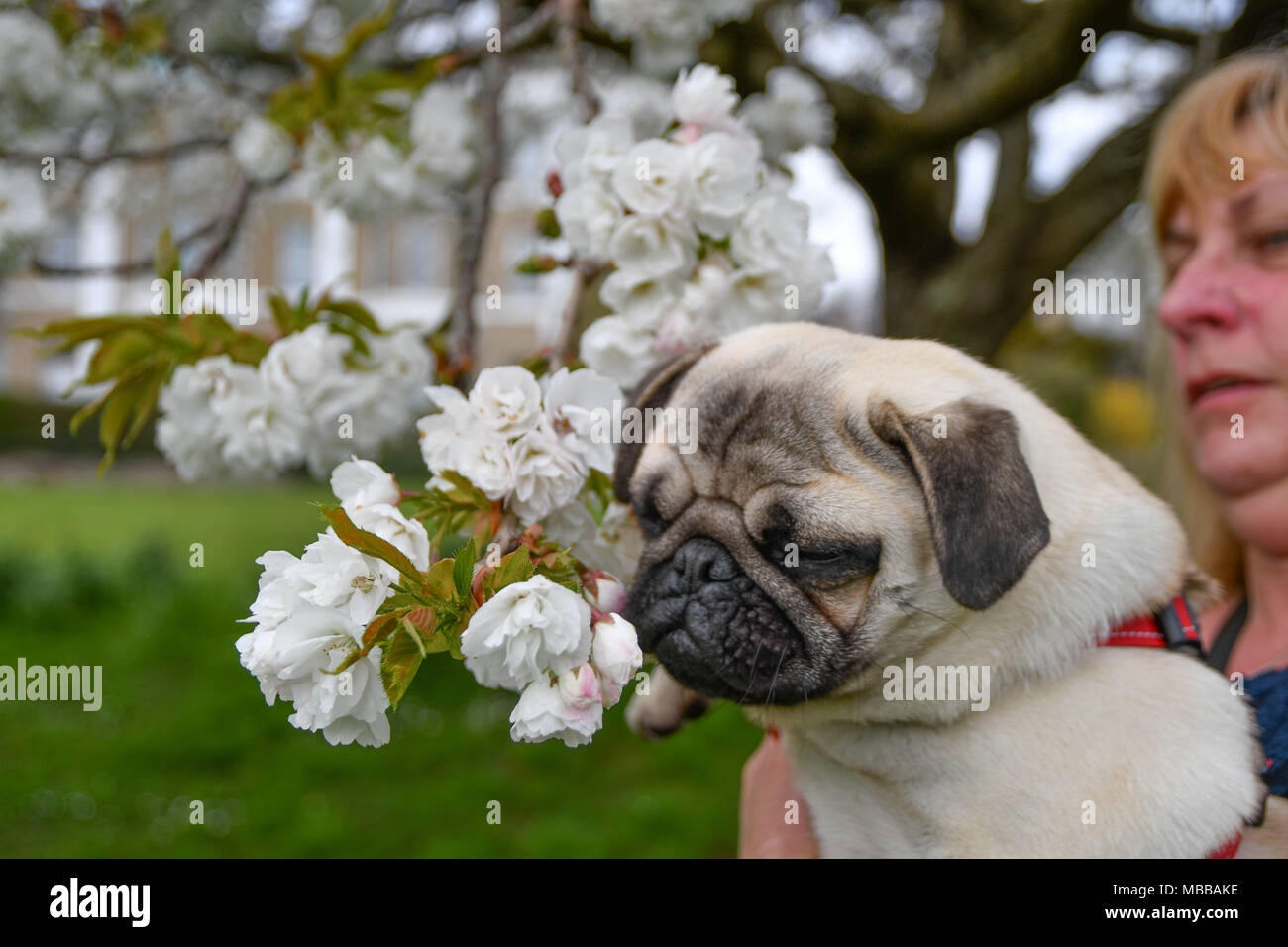 Close up of Pug Puppy in front of tree blossom flowers - Stock Image