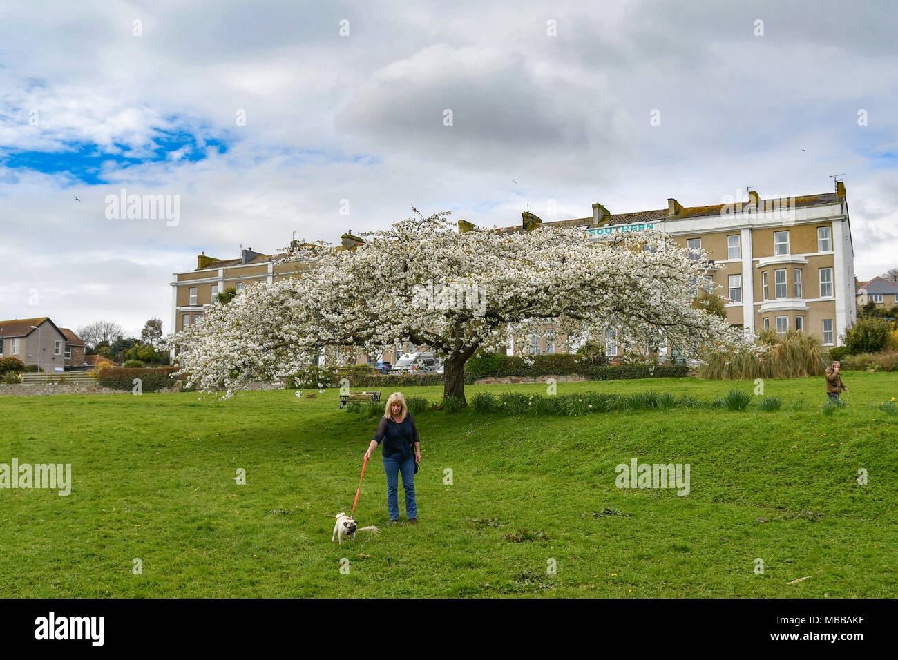 Pug dog being walked infront of a large blossom tree - Stock Image