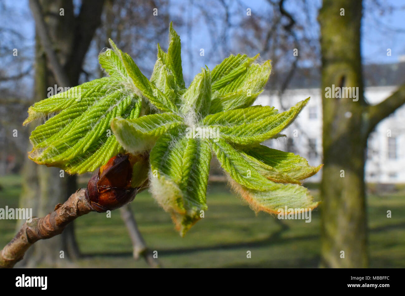 10 April 2018, Germany, Neuhardenberg: The light green of a chestnut bud shines bright in the palace park. Today is going to be a warm spring day with 20 degrees according to meteorologists. Photo: Patrick Pleul/dpa-Zentralbild/dpa Stock Photo