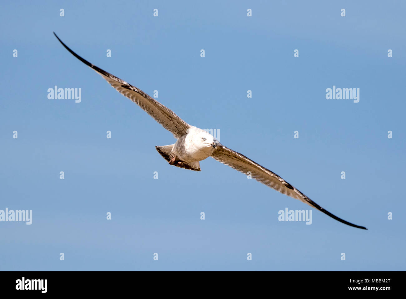 nature wildlife gull bird sea gull seagull seabirds black headed seaside seagulls coastline waterfowl shorebird coast gulls fly shorebirds gulls birds - Stock Image