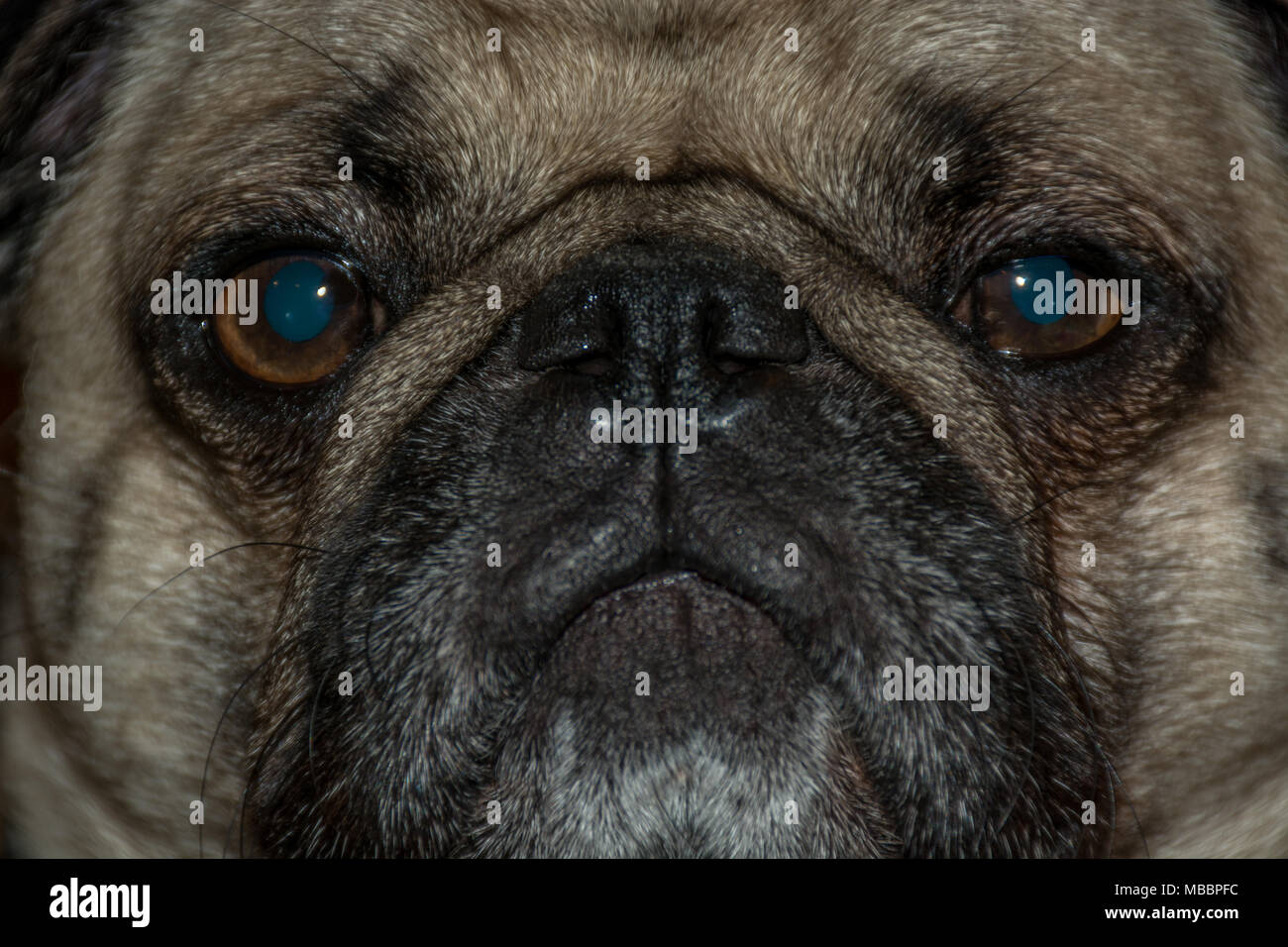 The Deep Blue Look of  a Pug - Stock Image