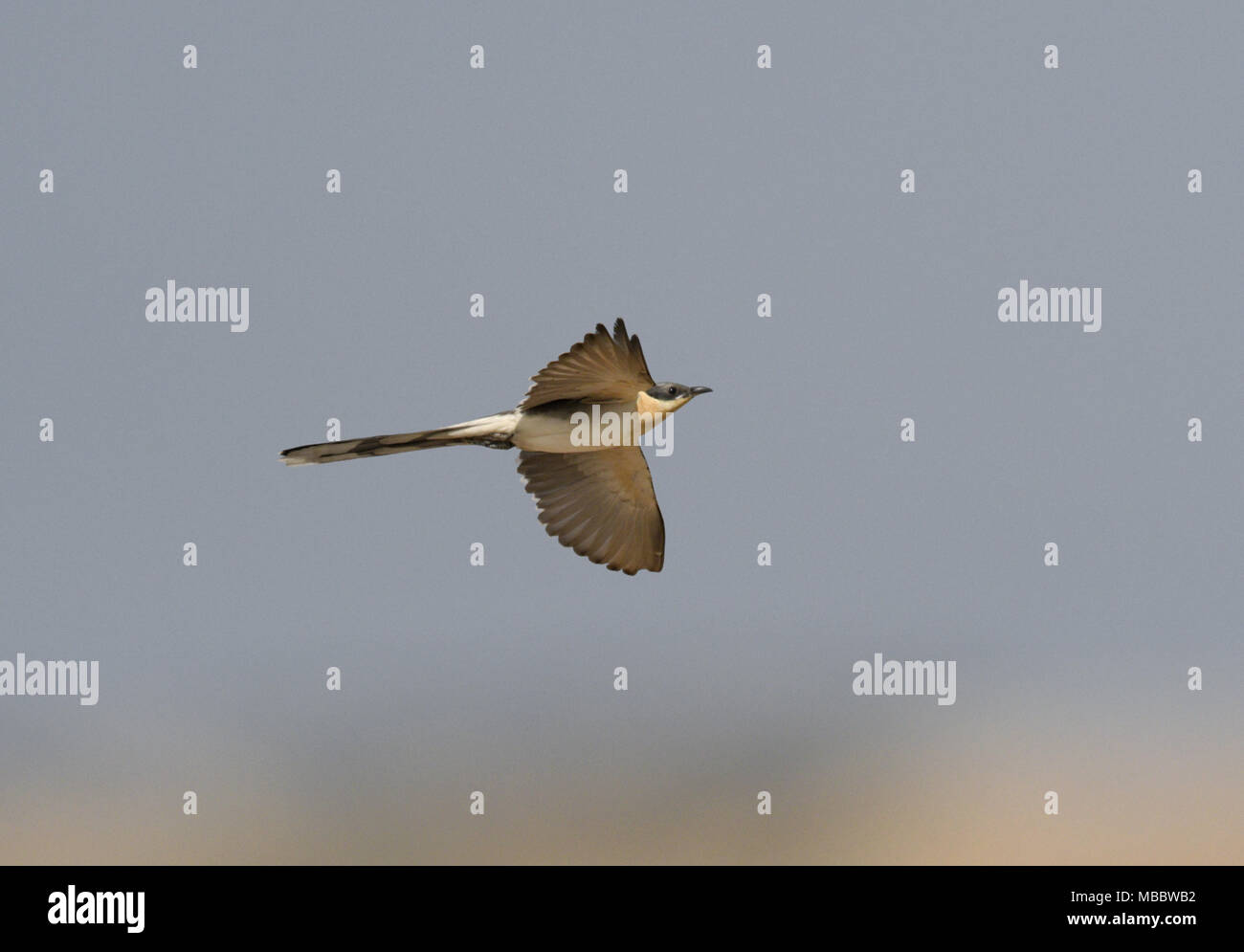 Great Spotted Cuckoo - Clamator glandarius - Stock Image