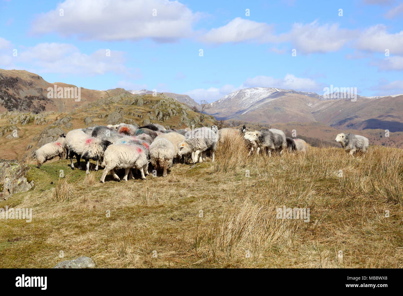Feeding Frenzy. Sheep on the Cumbrian Fells gather to feed prior to being rounded up. Snow is on the higher Helvellyn range in the distance. - Stock Image