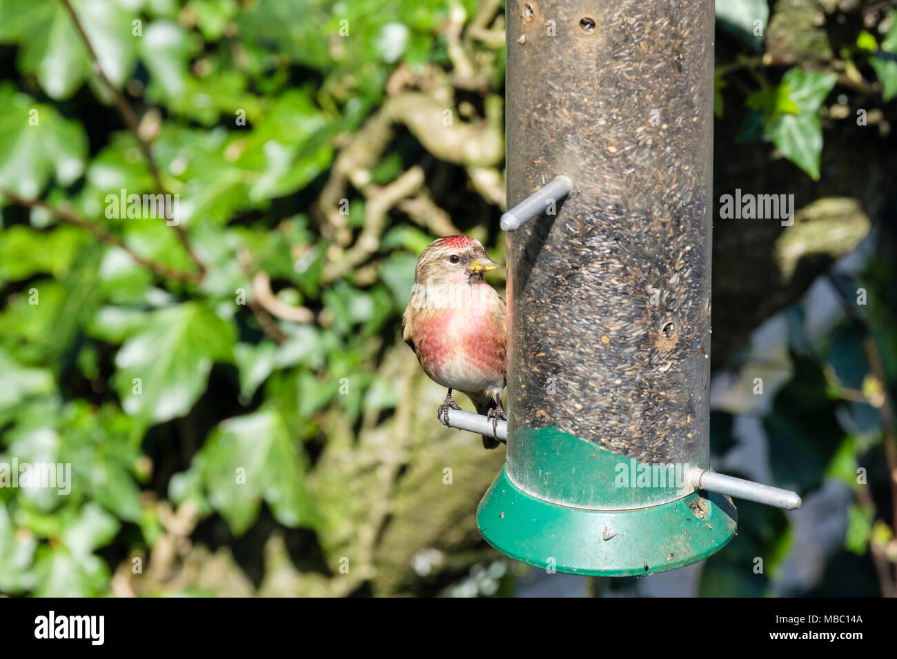 Colourful male Common Linnet (Carduelis cannabina) finch in spring plumage on a garden bird feeder in a hedgerow. North Wales, UK, Britain - Stock Image