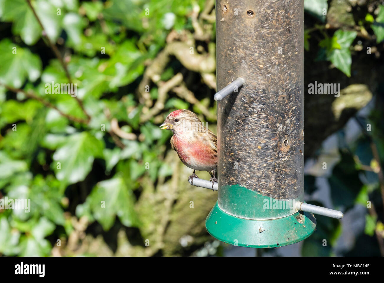 Colourful male Common Linnet (Carduelis cannabina) finch in spring plumage on a garden bird seed feeder in a hedgerow. Wales, UK, Britain - Stock Image