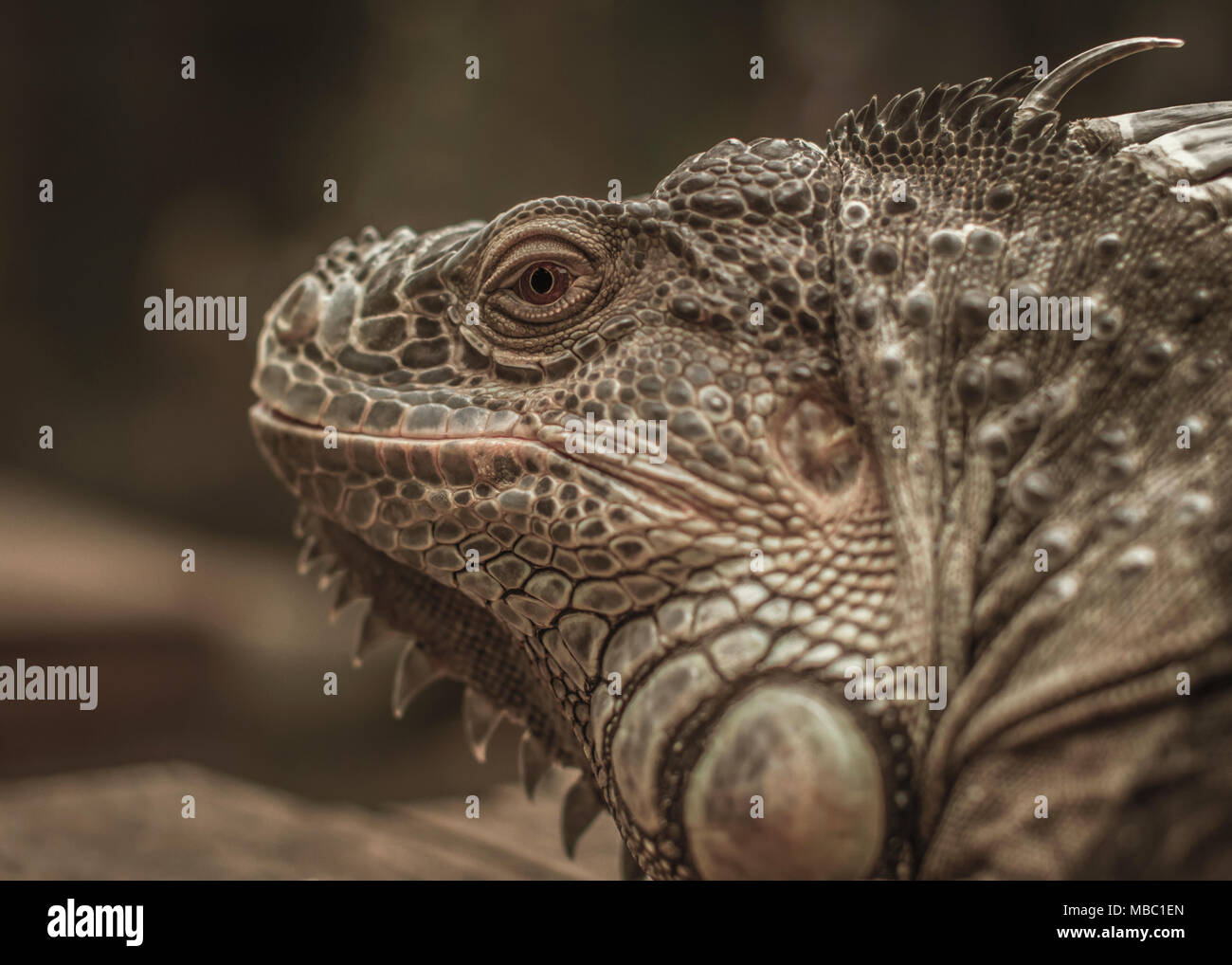 A lovely Iguana enjoy the warm day sun baking and have a nice posed to the camera Stock Photo