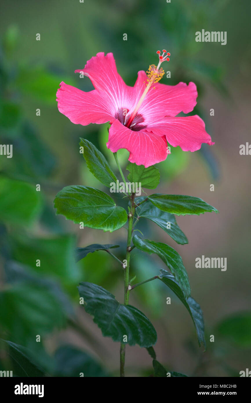 Hibiscus flower costa rica stock photos hibiscus flower costa rica hibiscus flower stock image izmirmasajfo