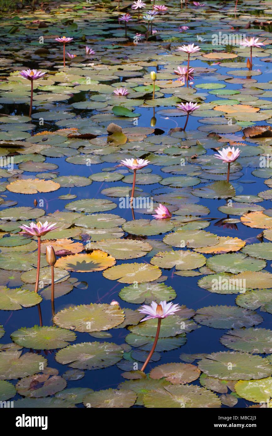 Water lilies near Tiskita Jungle Lodge on Costa Rica's southwestern coast - Stock Image