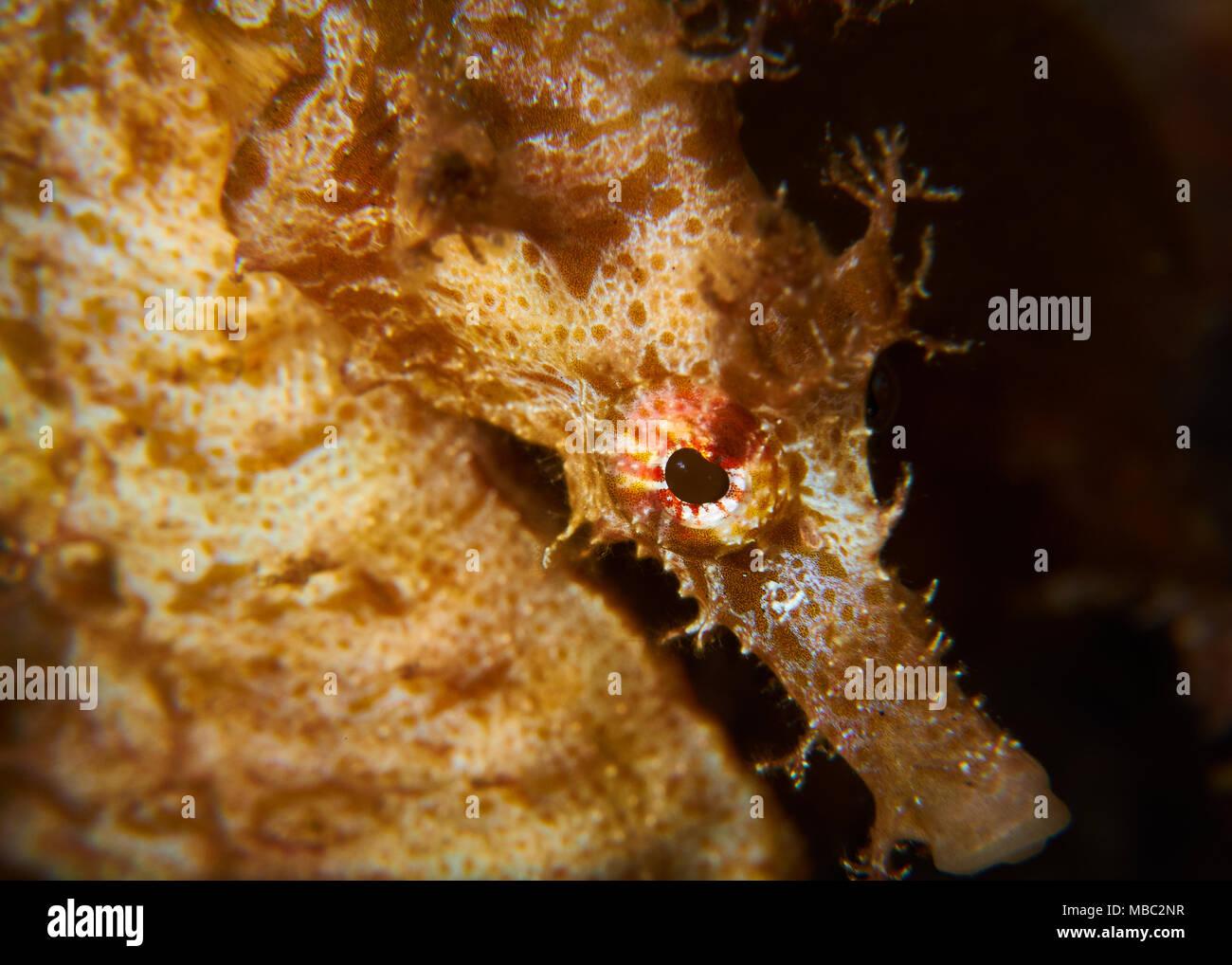Short-snouted seahorse (Hippocampus hippocampus) portrait in Mar de las Calmas Marine Reserve (El Hierro, Canary Islands, Spain) - Stock Image