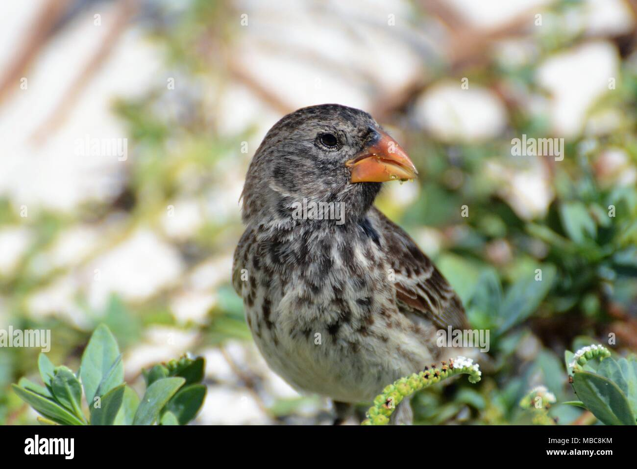 Darwin's finches, female medium ground finch San Cristobal, Galapagos Islands - Stock Image