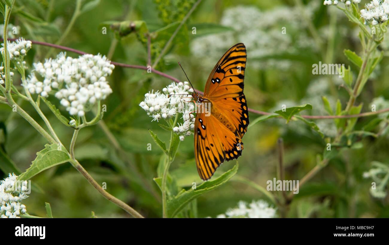 moth on milkweed - Stock Image