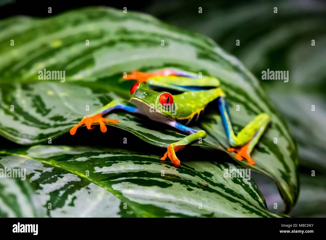 red eyed tree frog (Agalychnis callidryas) on green leaf Stock Photo