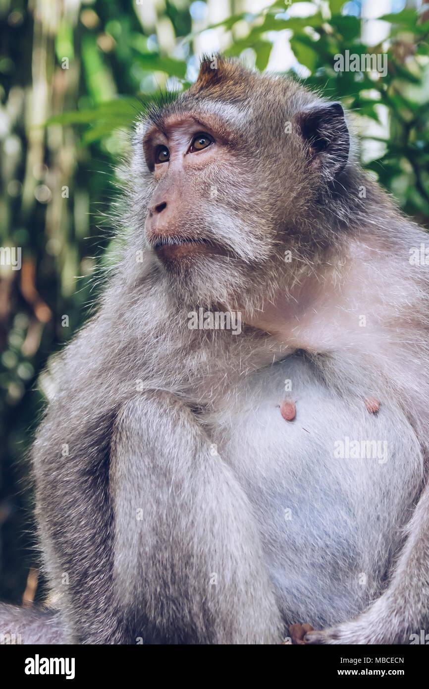 Balinese monkey in Ubud Monkey Forest, Bali, Indonesia - Stock Image