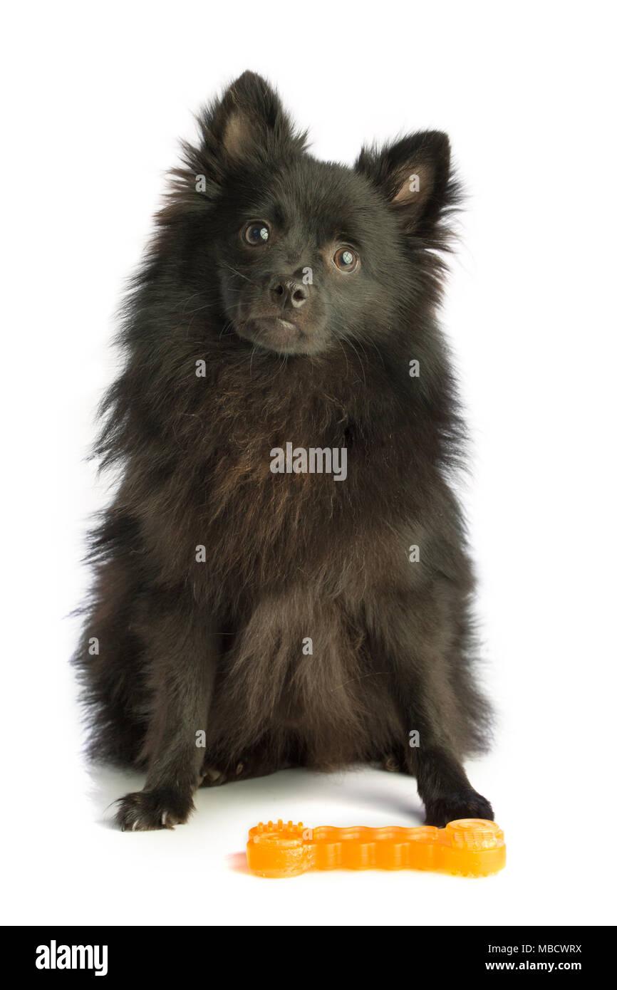 Pomeranian Black Spitz With A Toy On White Background Stock Photo