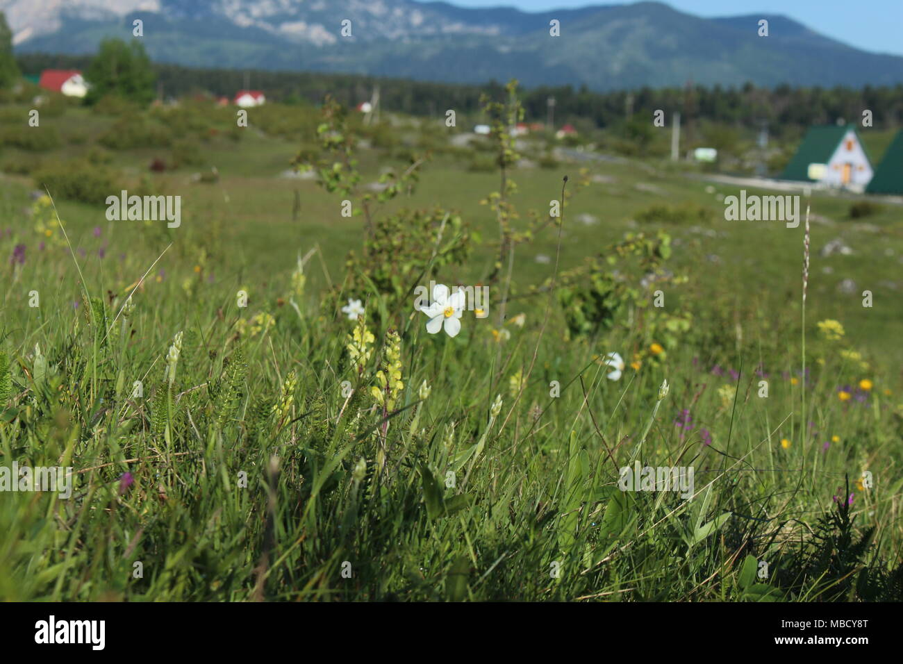 meadow with flowers of wild daffodils (Narcissus poeticus) on the Montenegrin mountain Durmitor Stock Photo