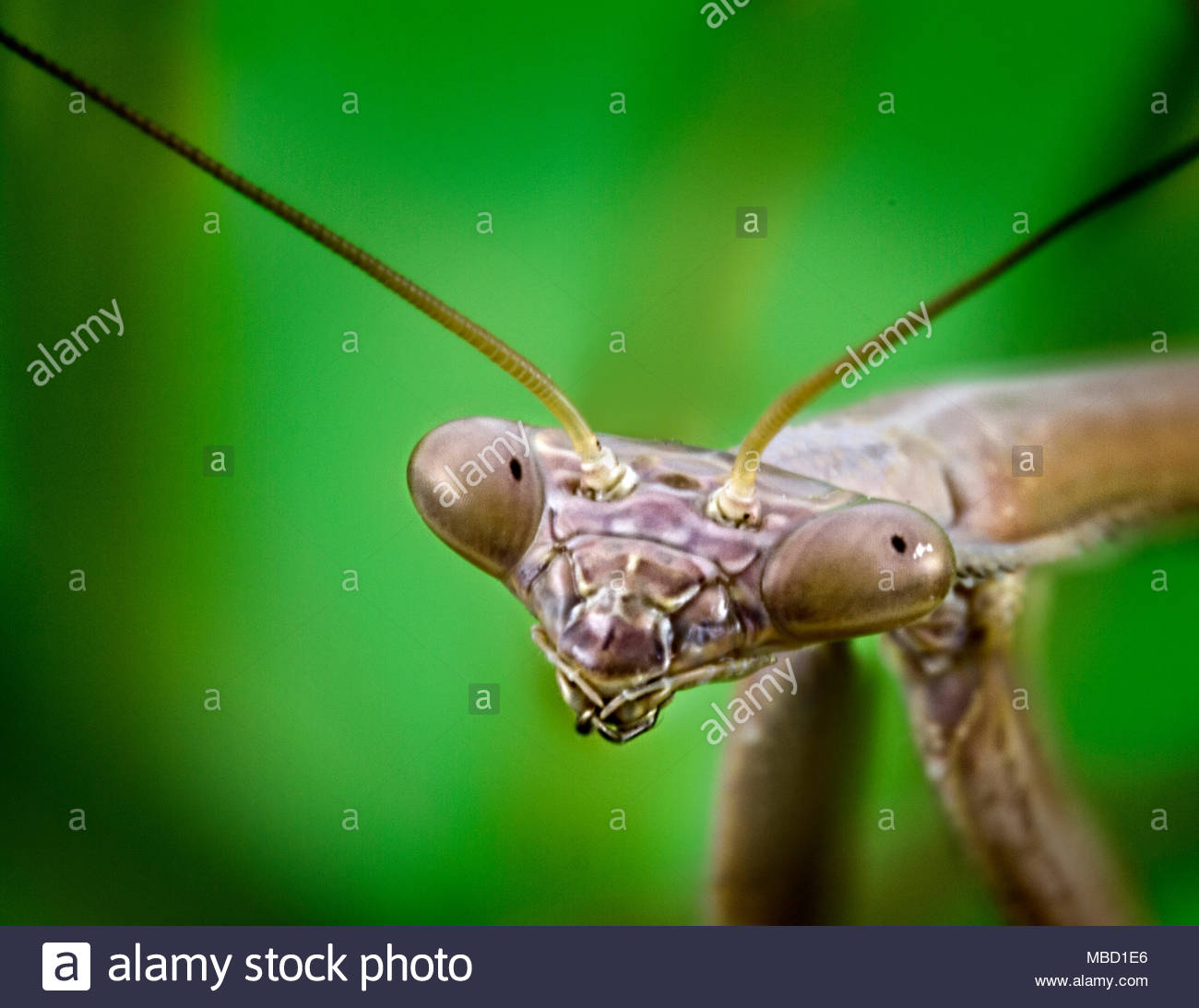 Praying Mantis Insect In Close Up - Stock Image
