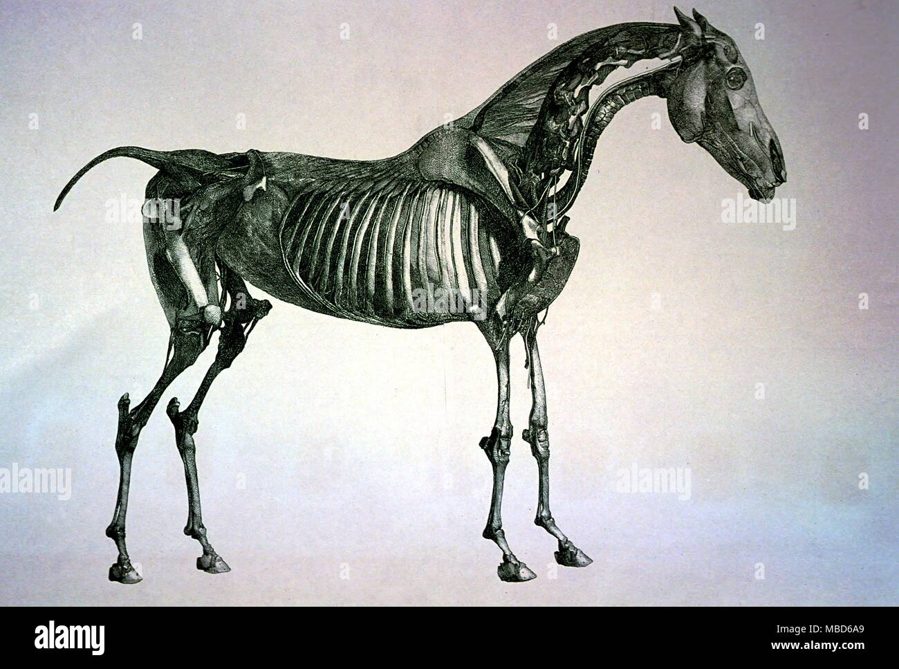 Engraving Of Dissected Horse From George Stubbs Anatomy Of The