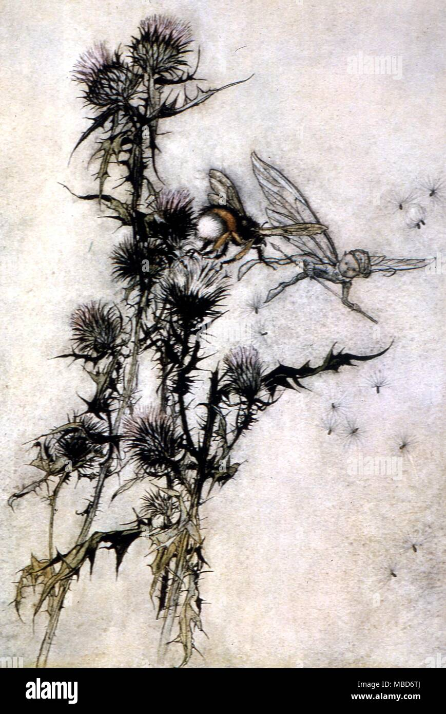 Midsummer Night's Dream - Kill me a red-hipped humble-bee on the top of a thistle.  Illustration by Arthur Rackham for the 1908 edition of A Midsummer Night's Dream by Shakespeare - Stock Image
