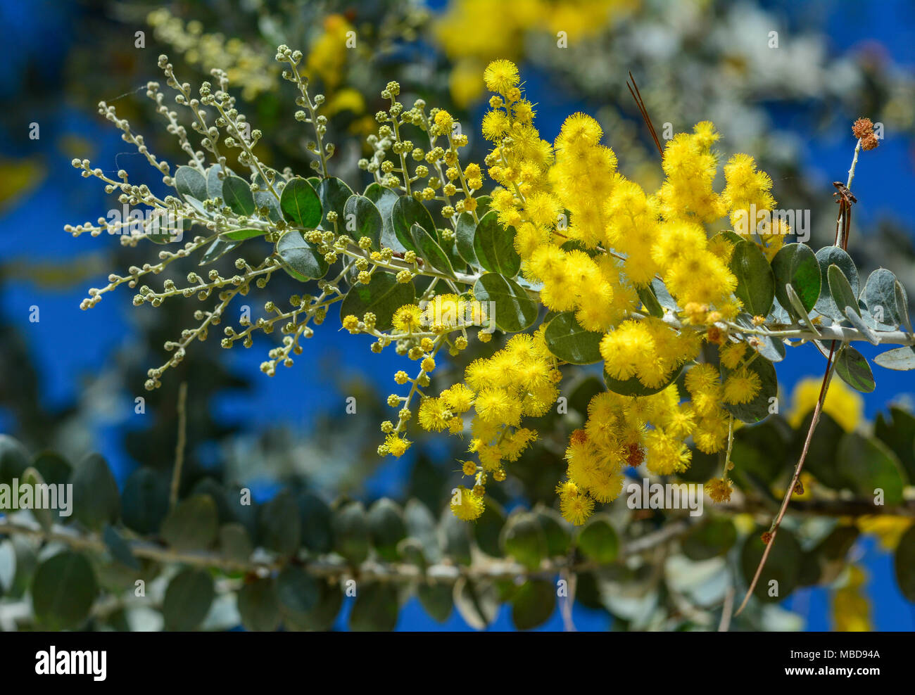 Flowering Acacia Stock Photos Flowering Acacia Stock Images Alamy