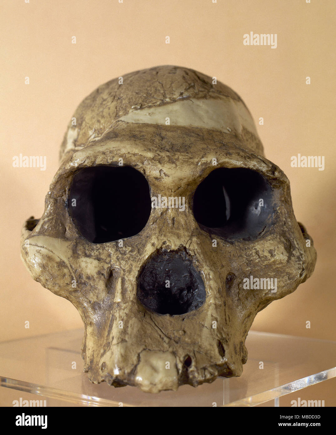 Mrs. Ples. Reproduction of a skull of an Australophitecus africanus (2.15 million years old). Found in Sterkfontein, South Africa. Archaeological Museum of  Catalonia, Barcelona, Spain. - Stock Image
