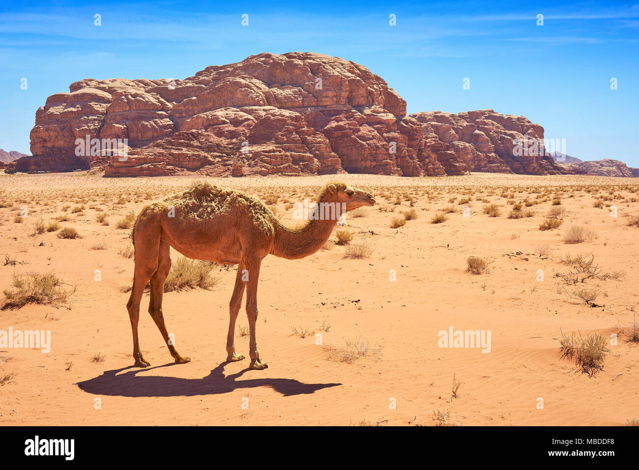 Camel in the Wadi Rum Desert, Jordan - Stock Image