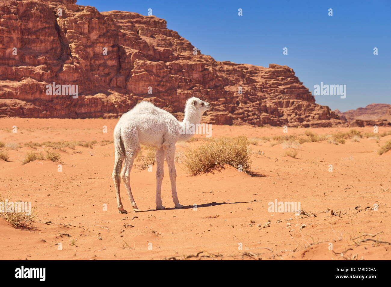 Young baby camel in the Wadi Rum Desert, Jordan - Stock Image