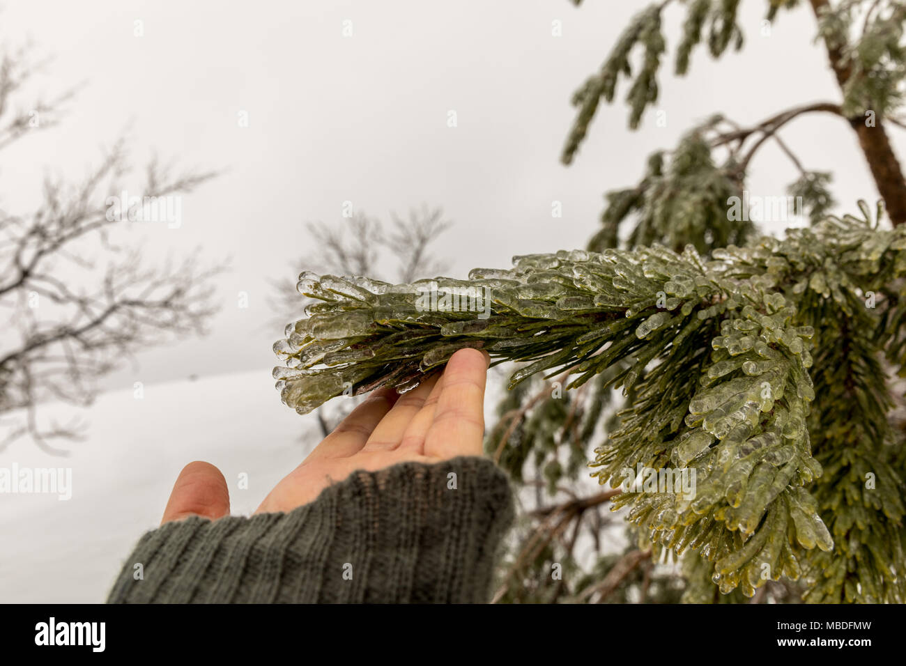 Hand touching the needles on a pine tree frozen during an ice storm. - Stock Image