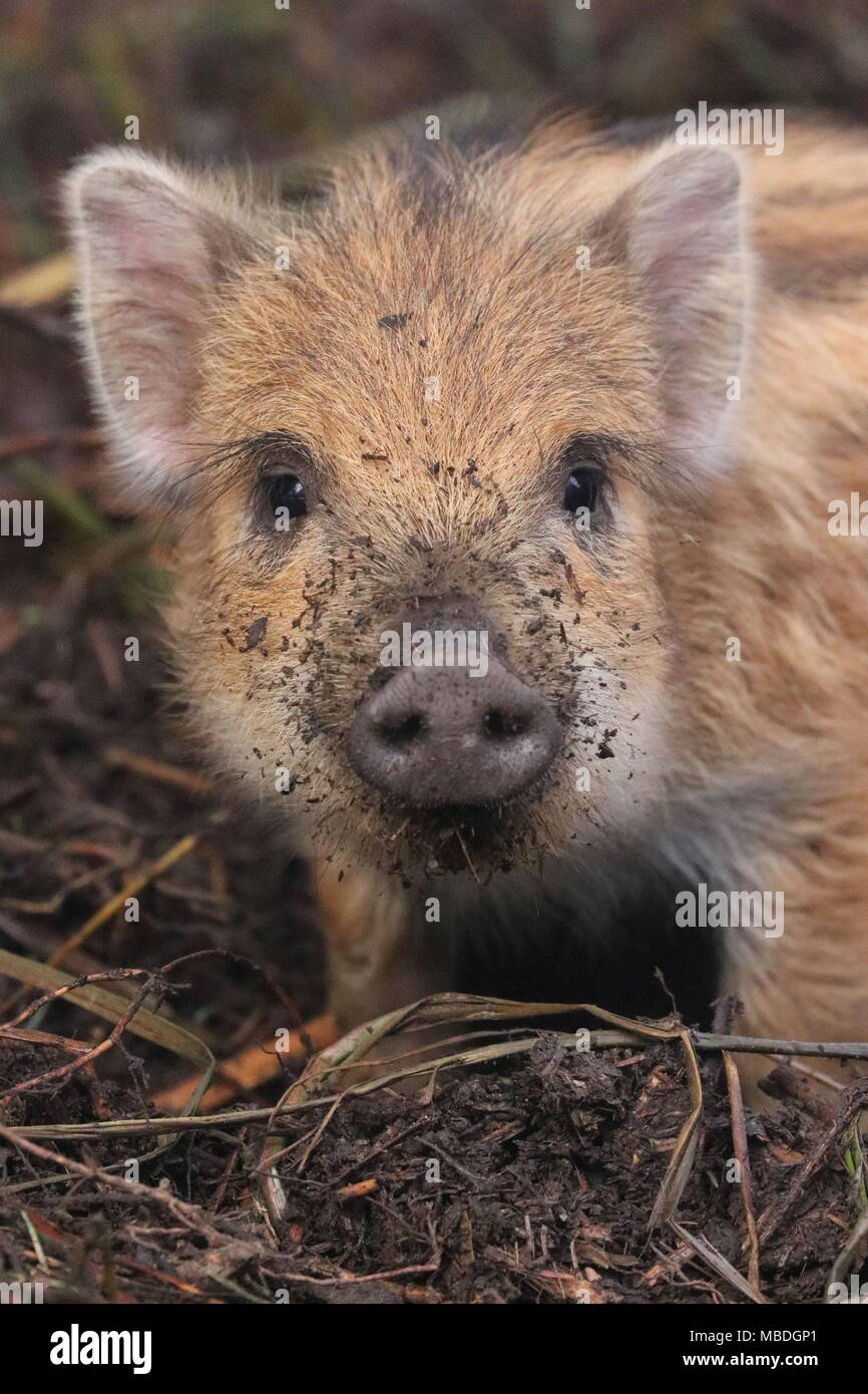 Wild boar baby (Humbug) in the Forest of Dean UK - Stock Image