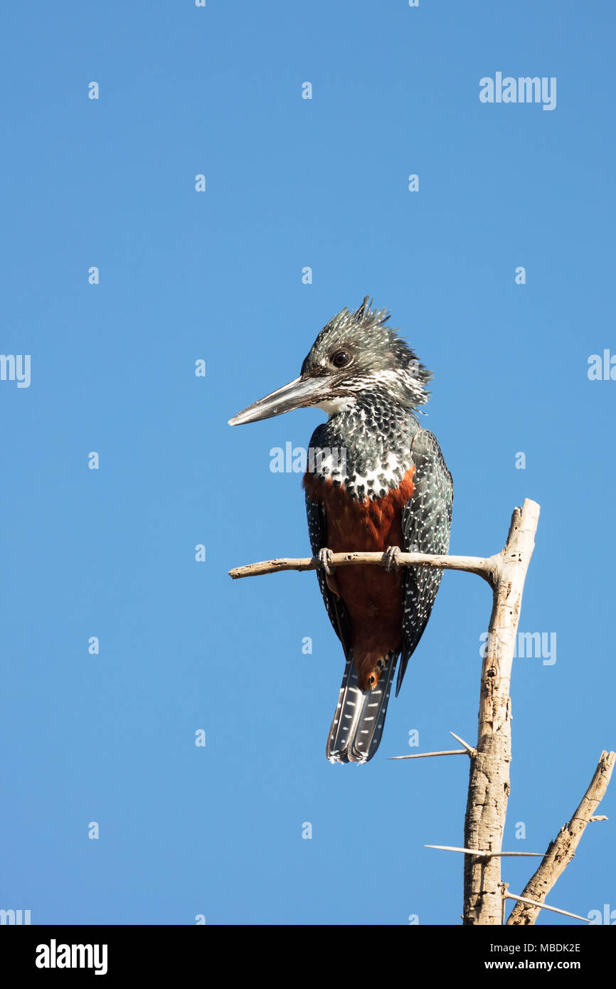 Female Giant Kingfisher, Megaceryle maxima, perched on branch in Kenya Stock Photo