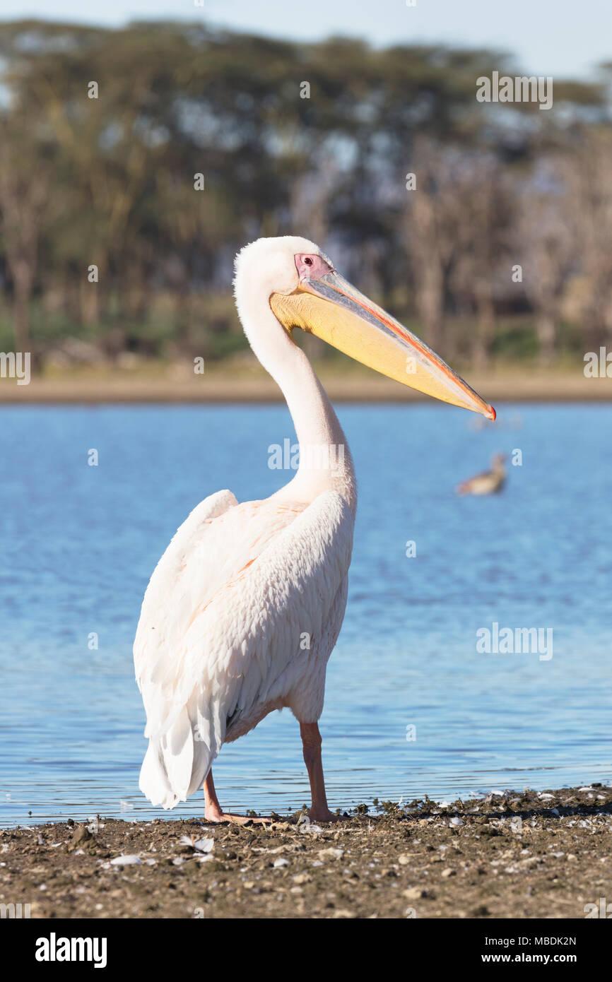 Great White Pelican, Pelecanus onocrotalus, standing on shore of Lake Naivasha in Kenya Stock Photo