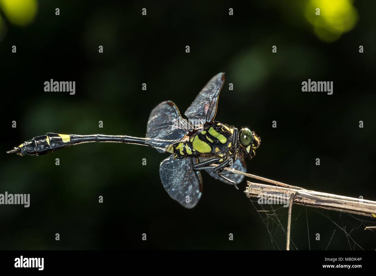 Endangered dragonfly - Chinese Tiger (Gomphidia kelloggi