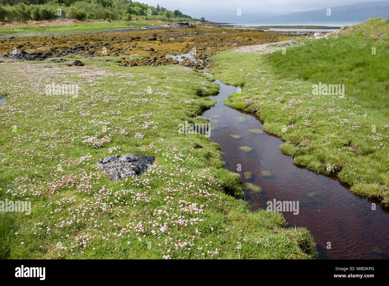 Sea pinks thrift armeria maritima flowers flowering by tide sea pinks thrift armeria maritima flowers flowering by tide pools on saltmarsh at low tide in june isle of mull hebrides western isles scotland mightylinksfo Image collections