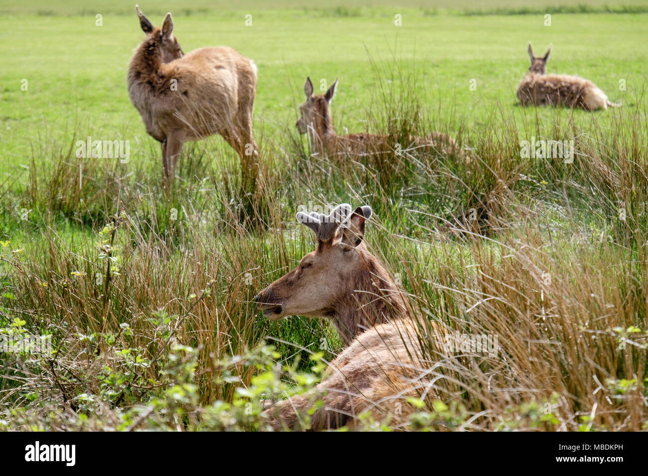 Red deer (Cervus elaphus) grazing and resting on the golf course. Lochranza, Isle of Arran, North Ayrshire, Scotland, UK, Britain - Stock Image