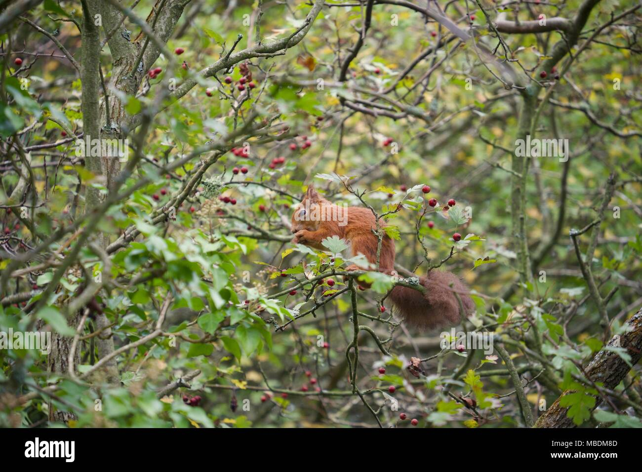 Eurasian Red Squirrel in a tree eating in Fort Victoria Country Park on the Isle of Wight - Stock Image