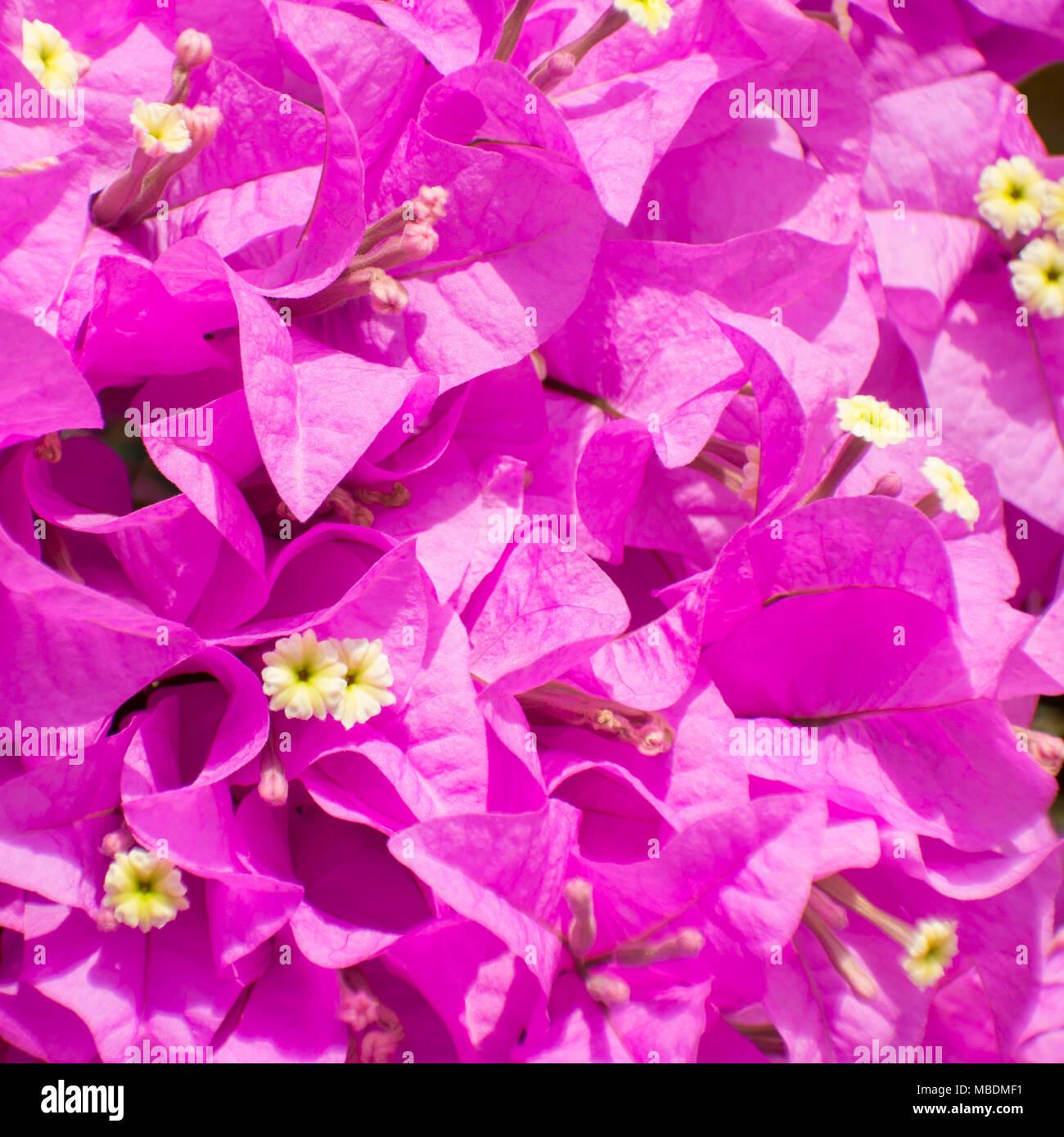 Purple paper flower bush stock photos purple paper flower bush purple bougainvillea or paper flower select focus background stock image mightylinksfo