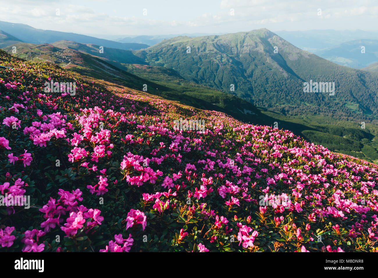 Magic pink rhododendron - Stock Image