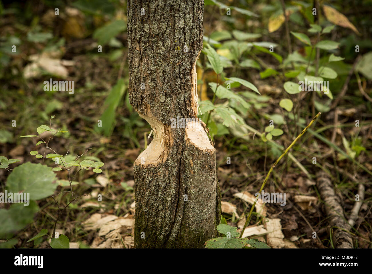 A tree being cut by beavers is seen near Portage La Prairie, Manitoba, Monday August 17, 2015. - Stock Image