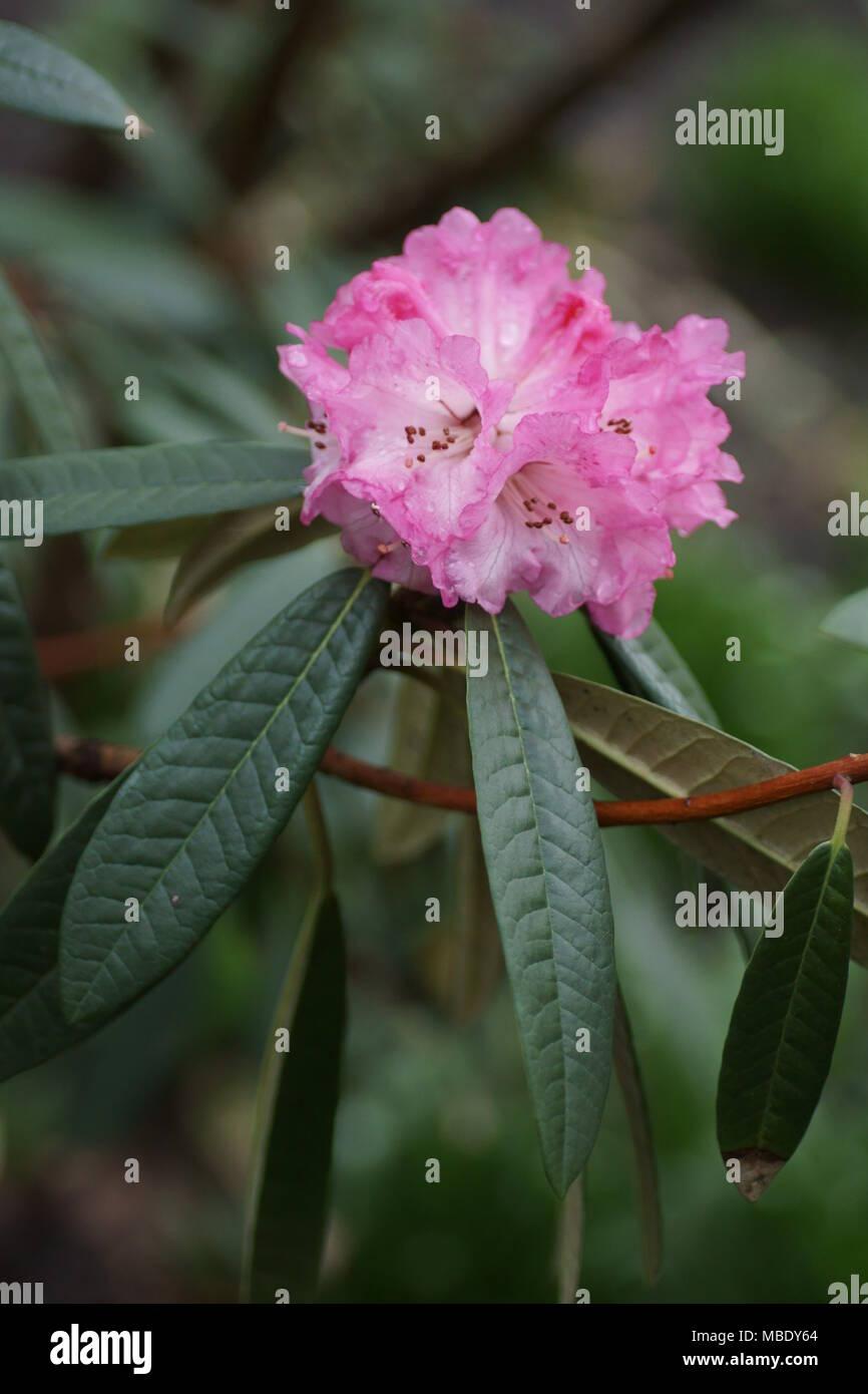 flowers of Rhododendron arboreum ssp. cinnamomeum var. roseum Tony Schilling FCC form - Stock Image