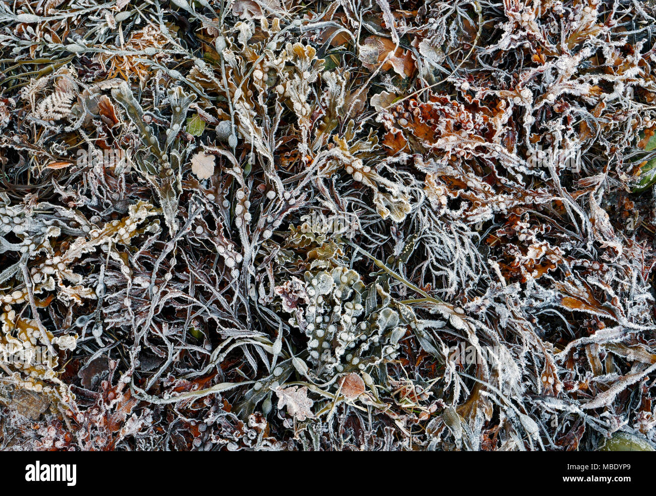 A close-up view of seaweed and kelp along the shores of Loch Sunart in the Scottish Highlands. - Stock Image
