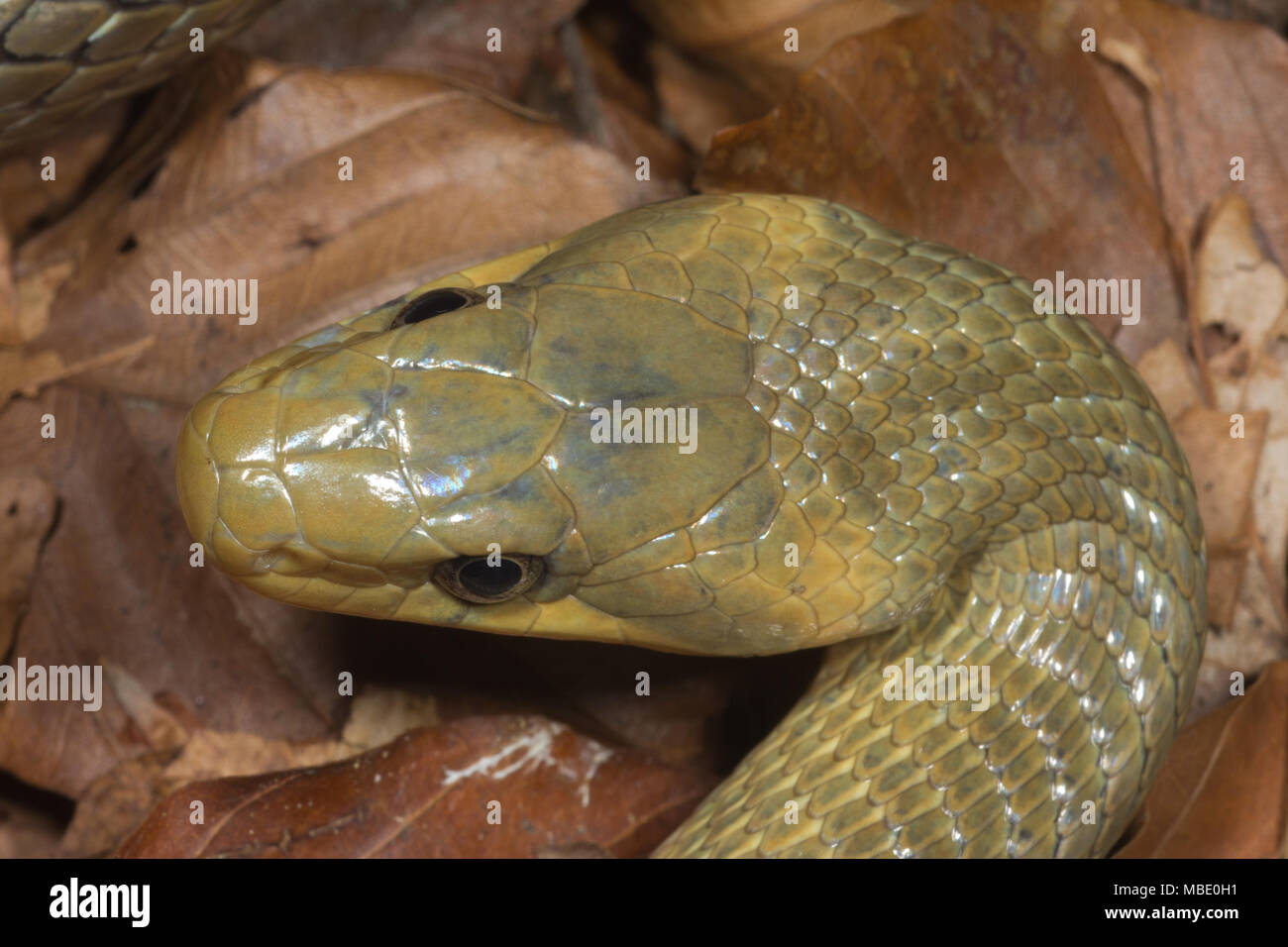 Overhead view of the head of an Aesculapian snake (Zamenis longissimus) near Lake Molveno, Italy - Stock Image
